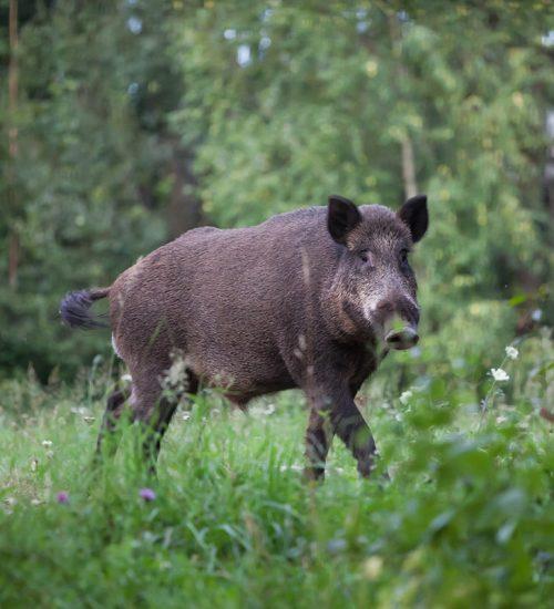 Wild boar (sus scrofa ferus) walking in summer field
